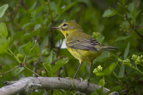 nature birds texas birding galvestonisland prariewarbler gseloff dosvacasmuertas