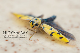 Leafhopper (Anatkina annandalei) - DSC_5630