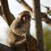 臺灣獼猴是壽山國家自然公園的明星物種
