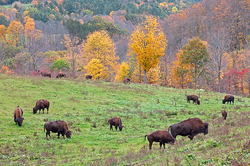 autumn fall view newhampshire clarks volpe farmvalley bisonlangdonbuffalolinda