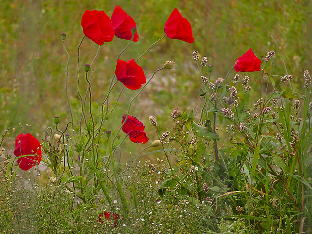 61 of 100 - Poppies