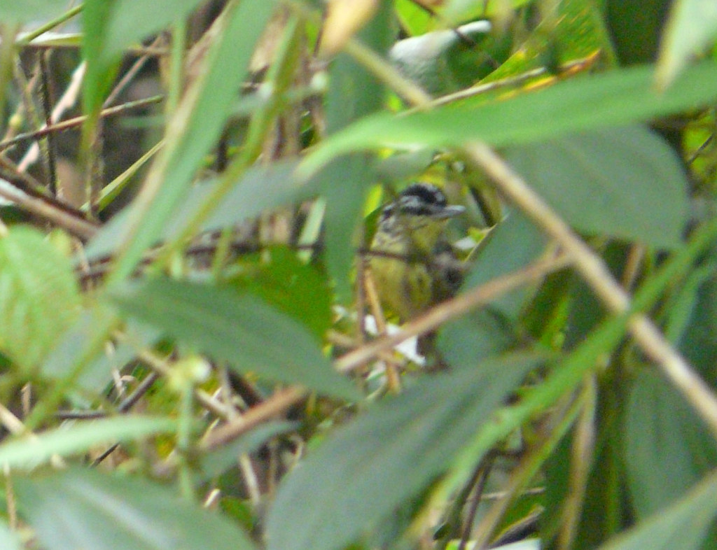 Yellow-breasted Warbling-Antbird (Hypocnemis subflava) (Hypocnemis cantator)