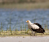 Palm-nut Vulture.(Vulturine Fish-Eagle alternative name) by Nydiaso.
