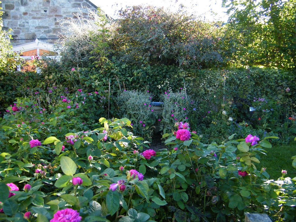 Rose De Rescht In The Morning Mercat Cottage Garden Rose Flickr