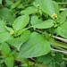 yellow weed AKA gallant soldier (Galinsoga parviflora)
