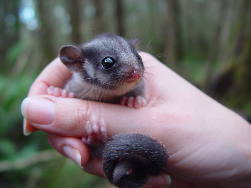 Leadbeater's Possum (photo: D. Harley)