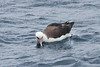 010006-IMG_8359 Laysan Albatross (Phoebastria immutabilis) by ajmatthehiddenhouse