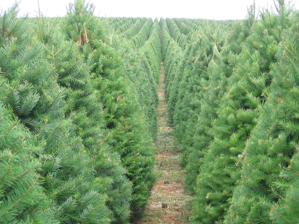 Christmas Tree Farm Pictures.Christmas Tree Farm Oregon Department Of Agriculture Flickr