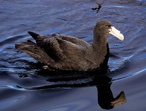 Southern Giant Petrel | by tinchgq