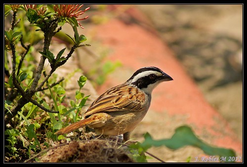 4.-Stripe-headed Sparrow-(Peucaea ruficauda)-Chingolo de cabeza listada. | by Jaime Robles M.