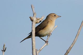 Garden Warbler (Sylvia borin) | by sussexbirder