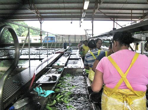 Del Monte banana packing plant | by jakkoke