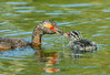 Horned Grebes - Podiceps auritus (Podicipedidae) 116v-20328 by Perk's images