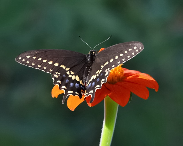 Spicebush Swallowtail on Mexican Sunflower