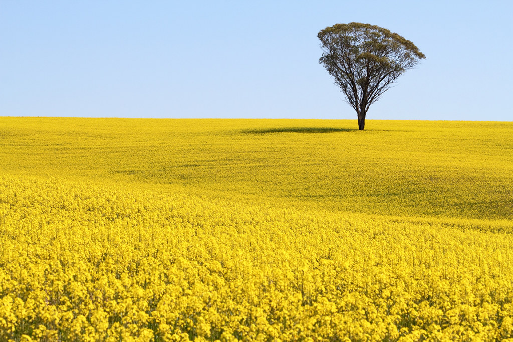 Surrounded By Canoloa Feilds Quotes: Lone Gum Surrounded By Canola Near