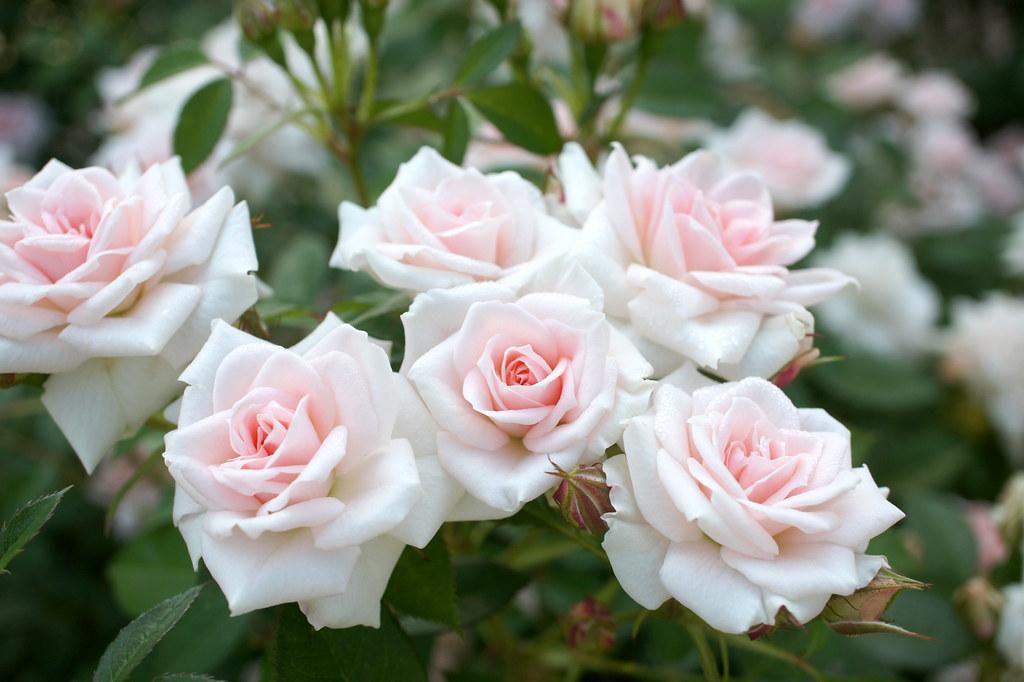 Rose Sayokyoku バラ 小夜曲 | Rose Sayokyoku バラ 小夜曲 Miniature ...