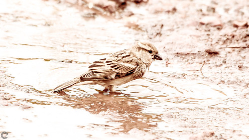 raveclix india incredibleindia canon sigma canon5dmarkiii sigma150500mmf563apodgoshsm monsoon bird rain sparrow ravindra ravi kaushik