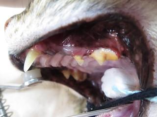 Maisy dental | by Rayya The Vet
