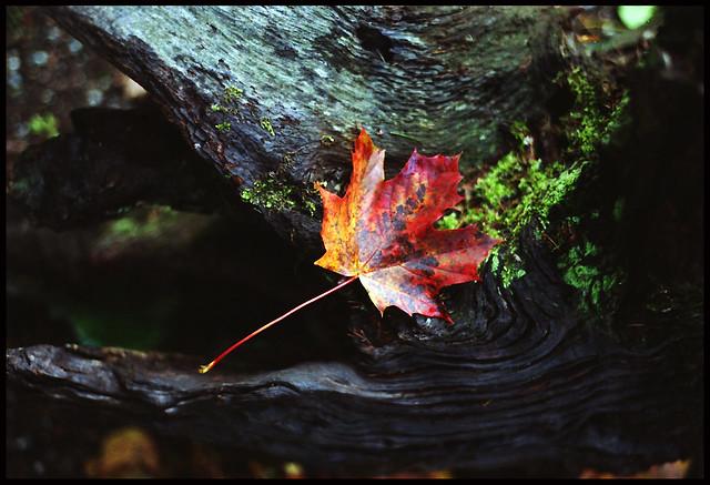 Fallen autumn leaf - Pentax MX