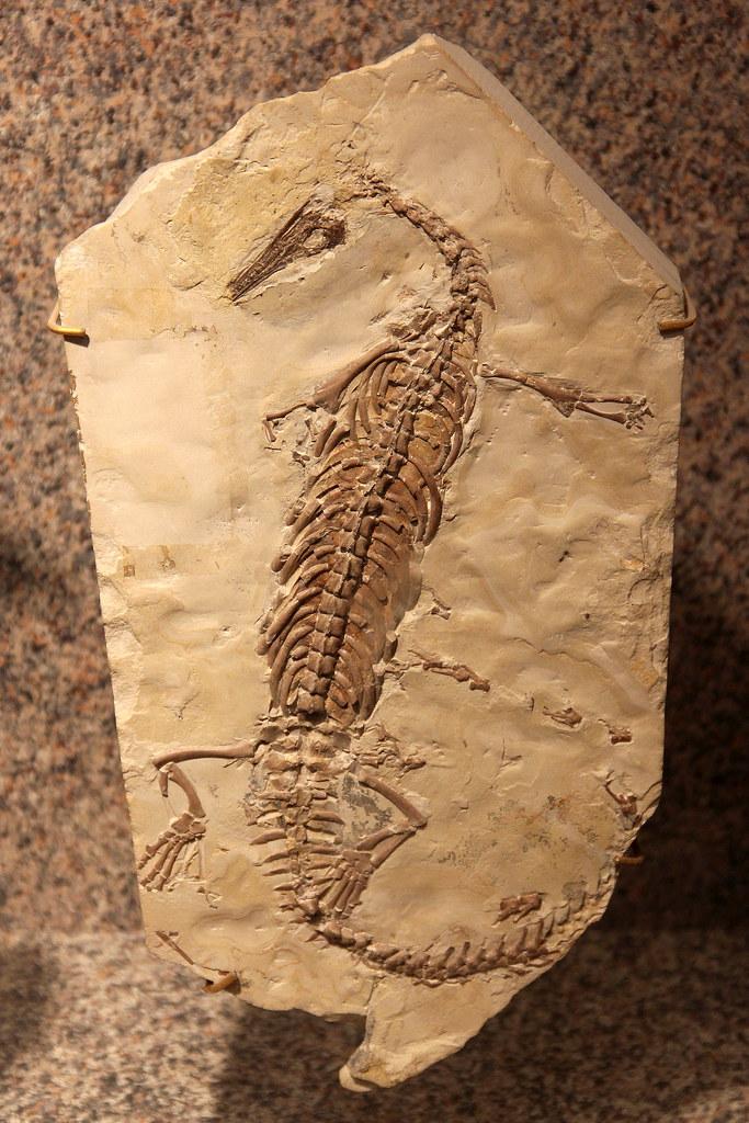 Mesosaurus | A fossil of the freshwater reptile Mesosaurus ...