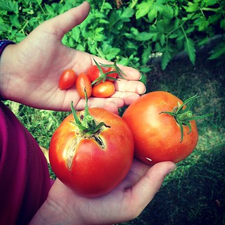 The fruits of my niece's tomato plants. | by Angela Rutherford
