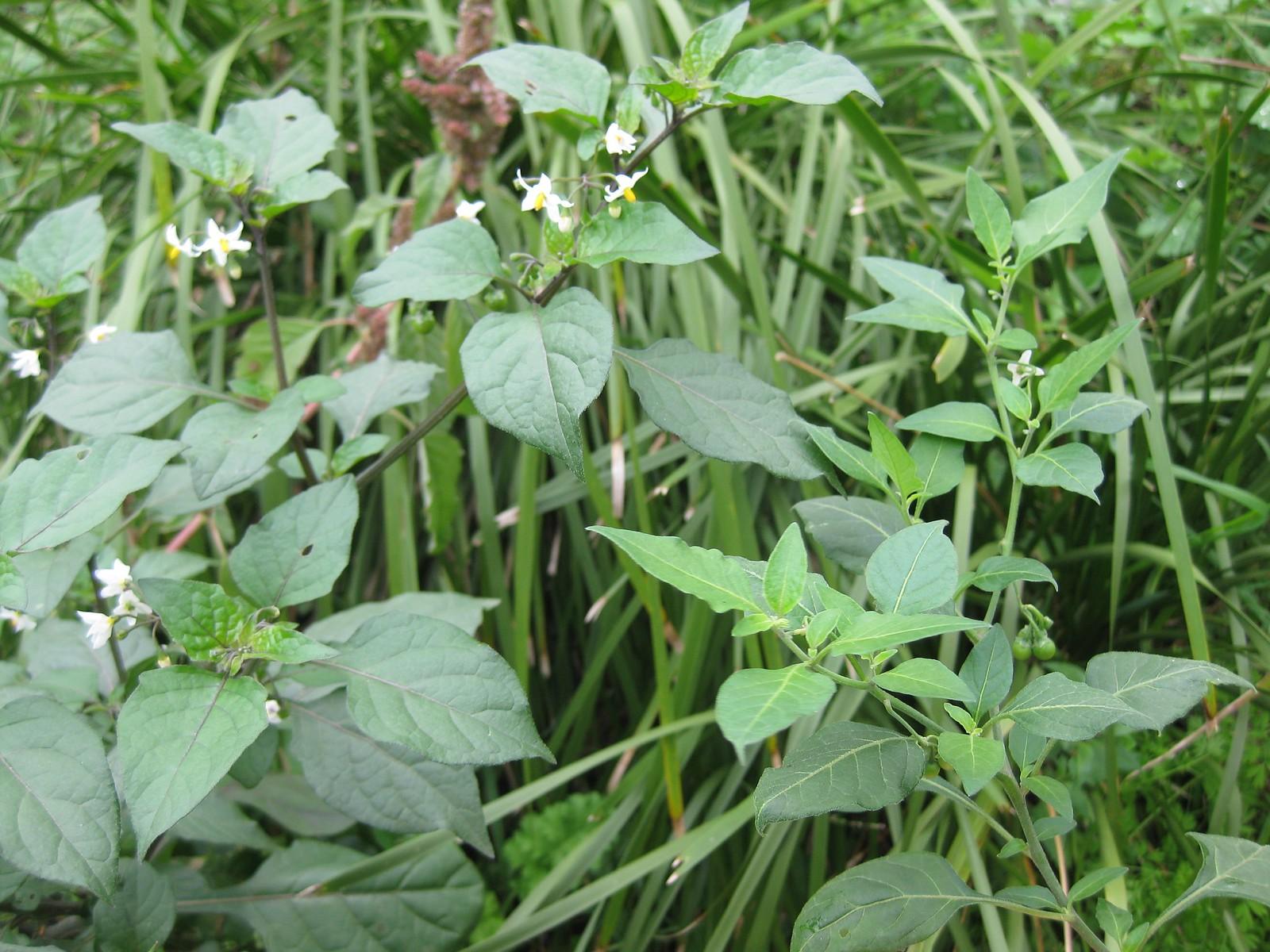 Solanum nigrum (left) and Solanum chenopoides (right)
