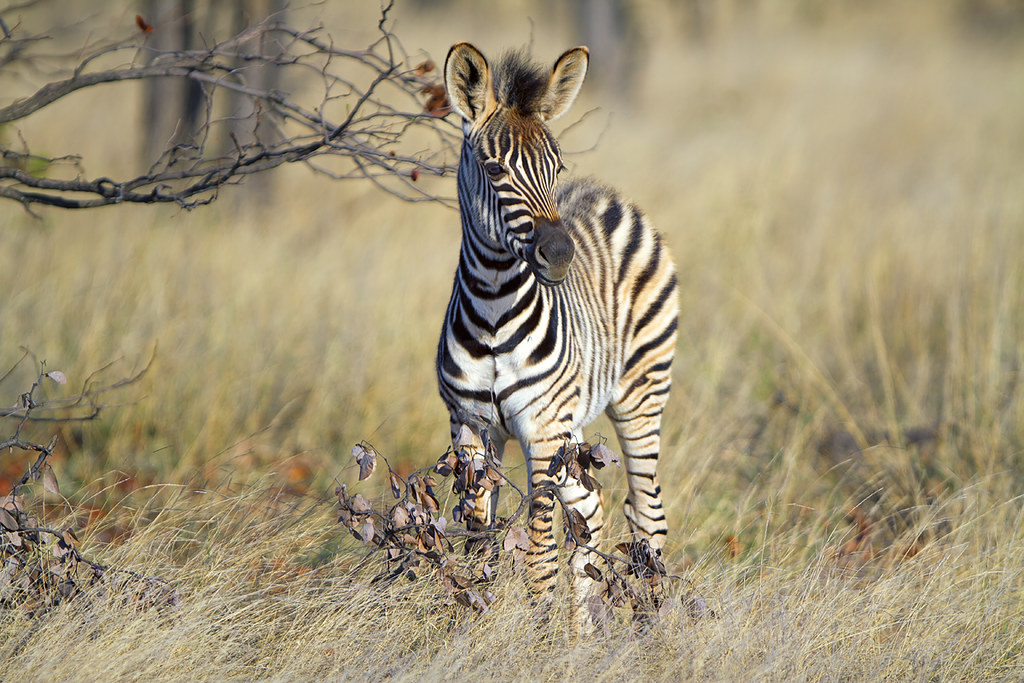 The Young One (Explore) | Juvenile zebra photographed in ...