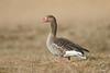 Graugans - Greylag Goose - Anser anser by Andreas Gruber