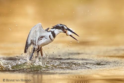 nature wild wildlife bird kingfisher piedkingfisher water splash drops gold dive fish fishing cerylerudis martinpêcheurpie bonteijsvogel graufischer gambia marakissarivercamp hvhe1 hennievanheerden specanimal