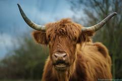 Highland Cow-2