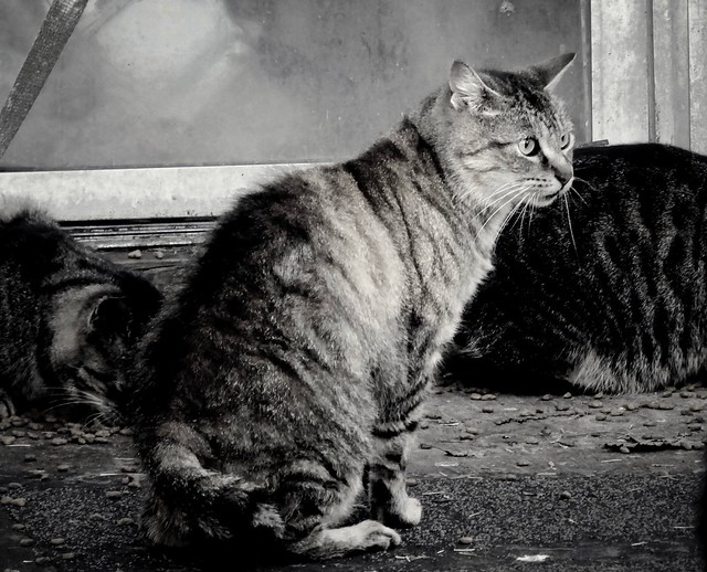 Tabby cat at feeding time black and white