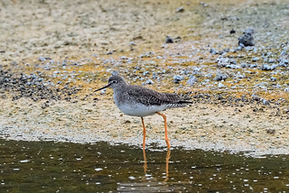 Желтоногий улит, Tringa flavipes, Lesser Yellowlegs | by Oleg Nomad