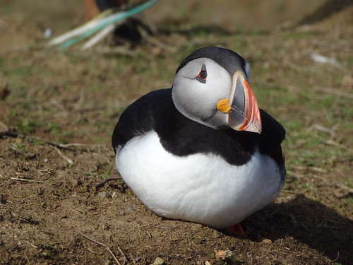 Puffin, Skomer | by Mary Loosemore