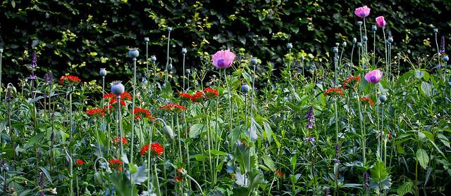 Summer Flowers, Botanical Gardens, St Andrews, Fife...Scotland