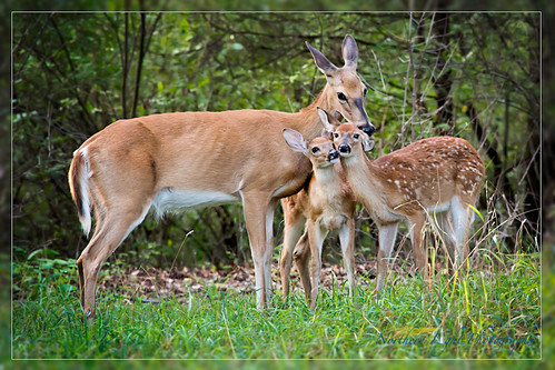 summer nature animals fauna outdoors michigan deer fawn metropark whitetaildeer kensingtonmetropark