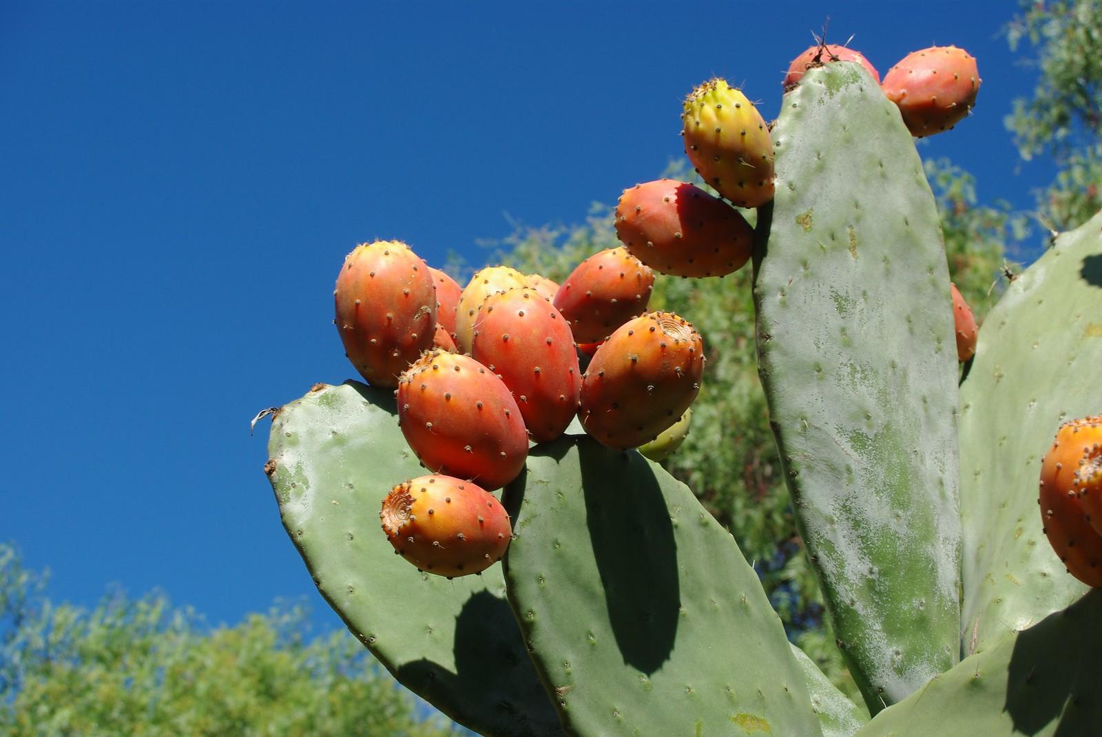 ripe prickly pear fruit