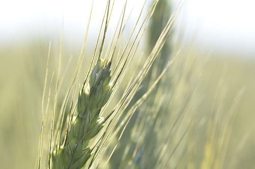corn porn2 | Heino Rust | Flickr