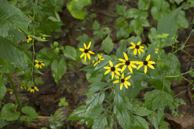 Rudbeckia hirta, Wolf River Cave Preserve, Fentress County, Tennessee