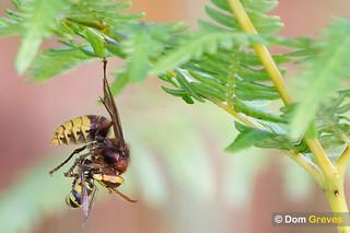 Hornet Hunter   by Dom Greves