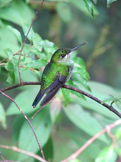 Hummingbird from Monteverde