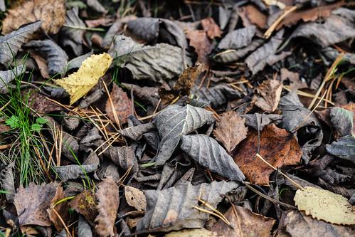 Dead leaves | by Jonne Naarala