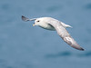 Northern Fulmar (Fulmarus glacialis) by David Cook Wildlife Photography