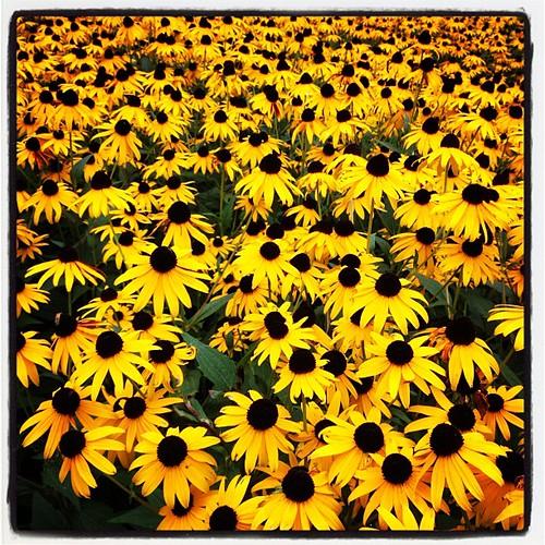 flowers square lofi squareformat butler rudbeckia blackeyedsusans myparentsfrontyard iphoneography instagramapp uploaded:by=instagram foursquare:venue=4e44b5ec1838e44e8990cc50