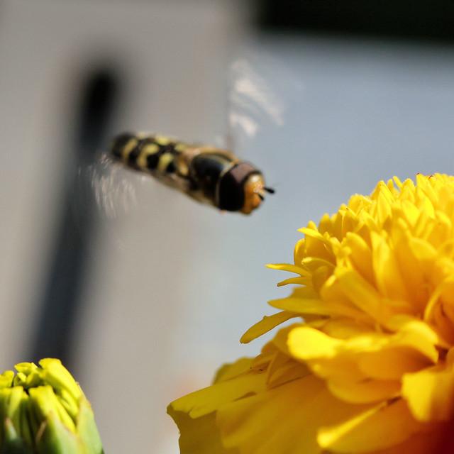Gemeine Garten-Schwebfliege (Syrphus ribesii) 01