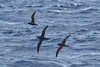 011061-IMG_6240 Short-tailed Shearwaters (Ardenna tenuirostris) by ajmatthehiddenhouse