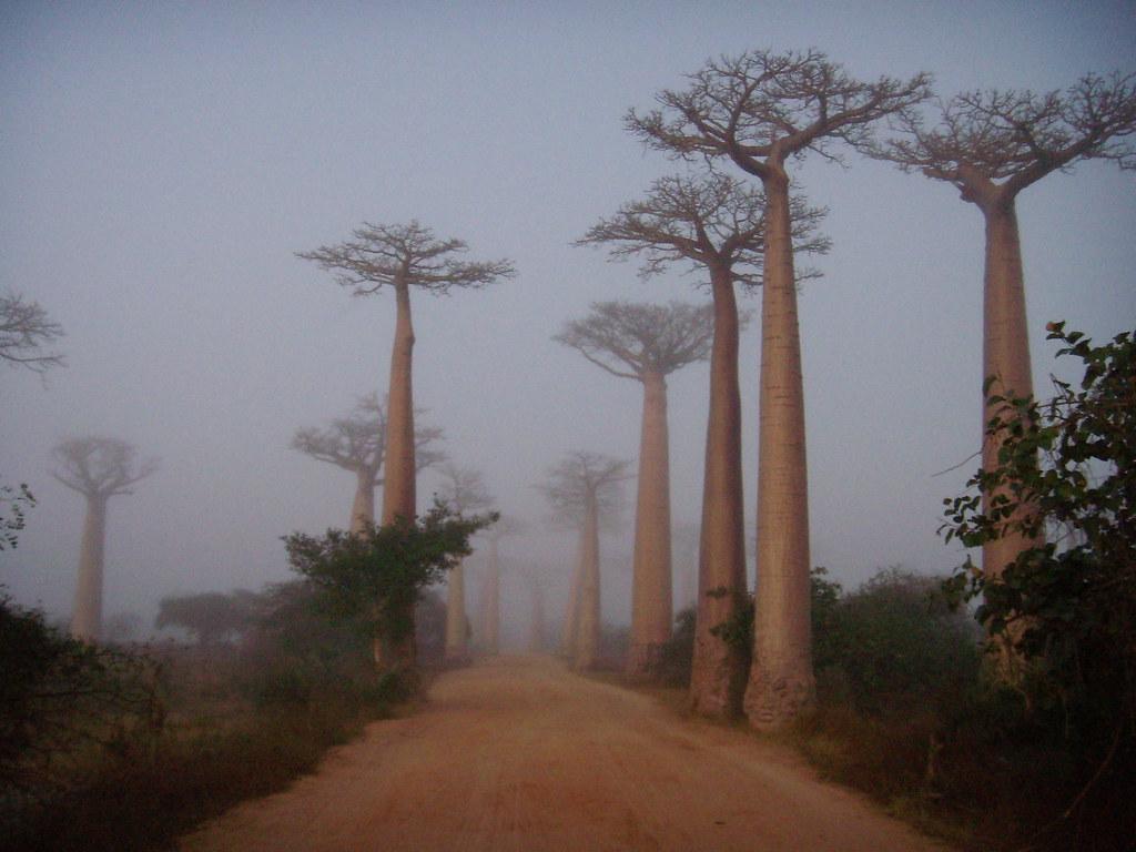 Niebla al amanecer en el camino, Avenida de los Baobabs