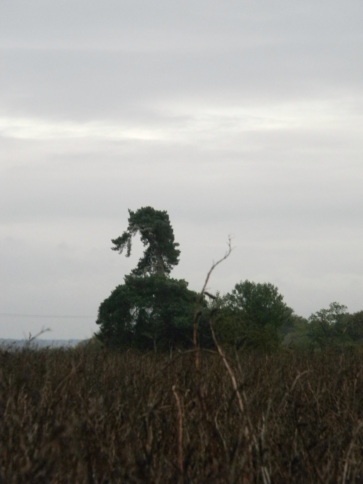 Duck-shaped tree Princes Risborough to Great Missenden