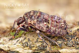 Planthopper (Derbidae) - DSC_6722