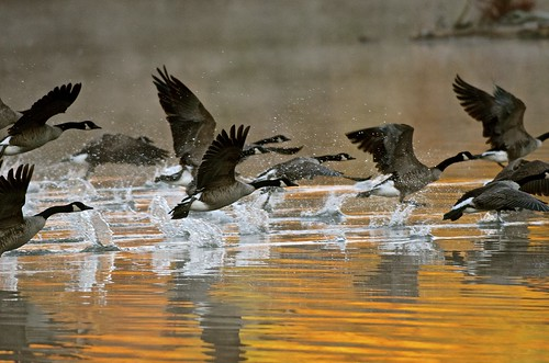 nature birds outdoors pennsylvania canadagoose canadageese yorkcounty lakeredman