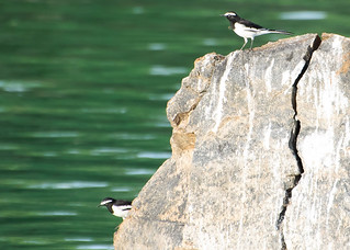 Large Pied Wagtail - White-browed Wagtail # 32 | by Ramakrishnan R - my experiments with light